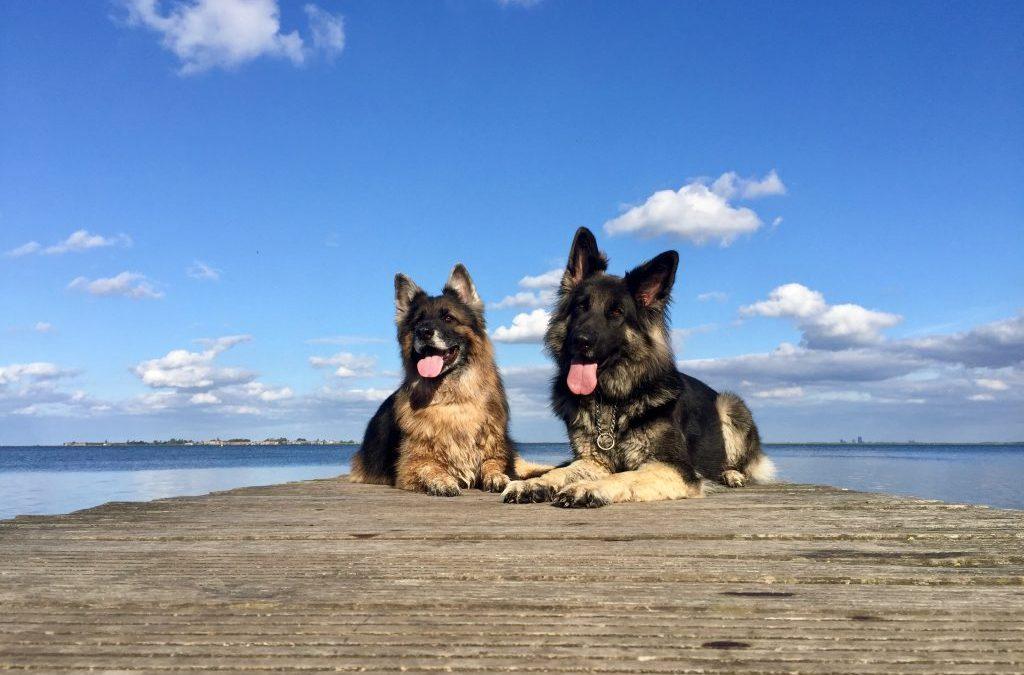Internationale Dag van de Geleidehond