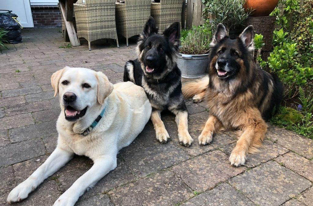 Chanda, Yoko en speelmaatje Pepper (blonde labrador)
